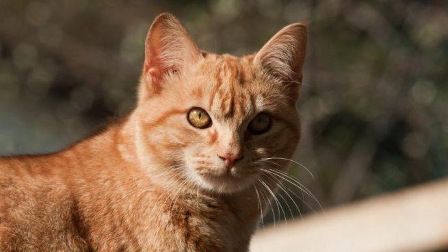 cistitis cronica en gatos tratamiento