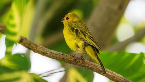 Los canarios son los pájaros cantores más famosos del mundo