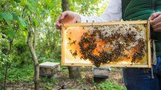 Pasos para mover una colmena de abejas