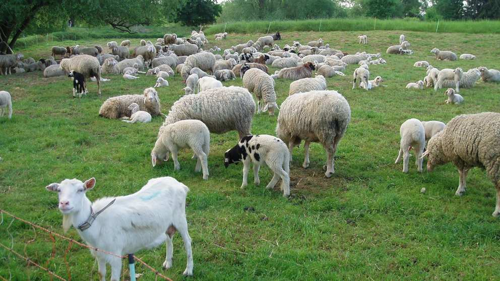¿Cómo se alimentan cabras y ovejas?