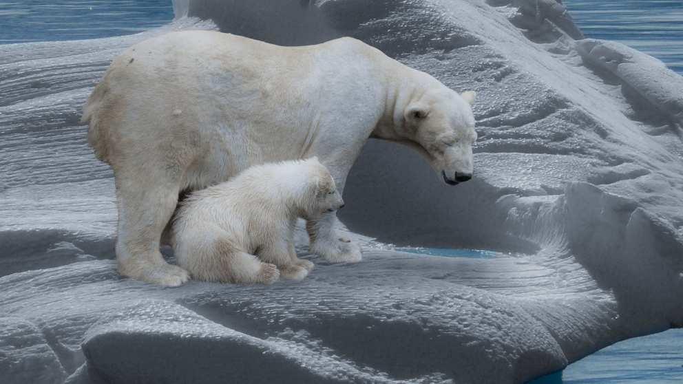 ¿Cómo es el día a día del oso polar?