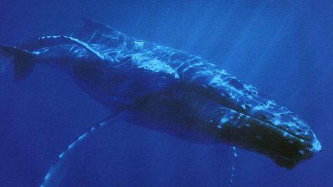¿Dónde vive la ballena azul ¿Cuál es su hábitat natural