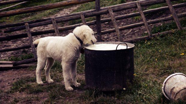 Perro toma leche