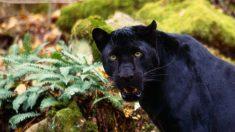 Curiosidades de la pantera negra que te sorprenderán