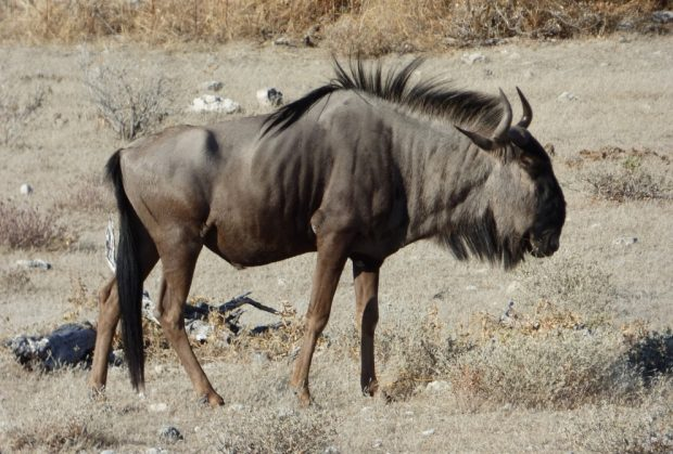 Bisonte, ñu y búfalo