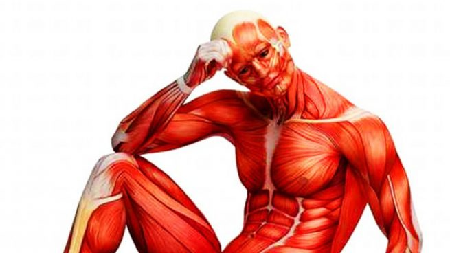 músculos más importantes del cuerpo humano