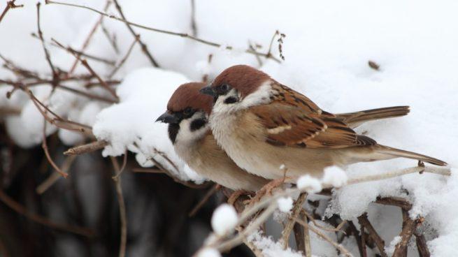 Pájaros domésticos en invierno