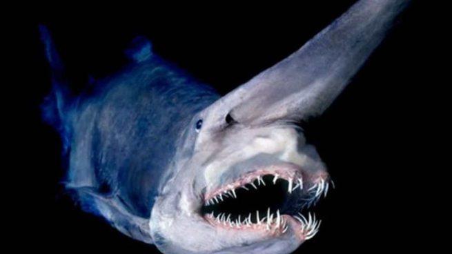 El tiburón duende