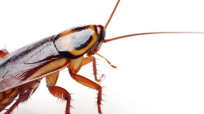 cucarachas vivas dentro del oído