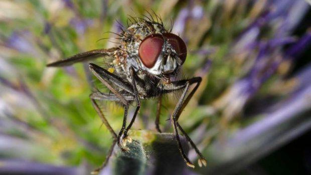 La mosca del establo