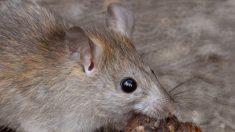 ¿Qué es la rata negra Características