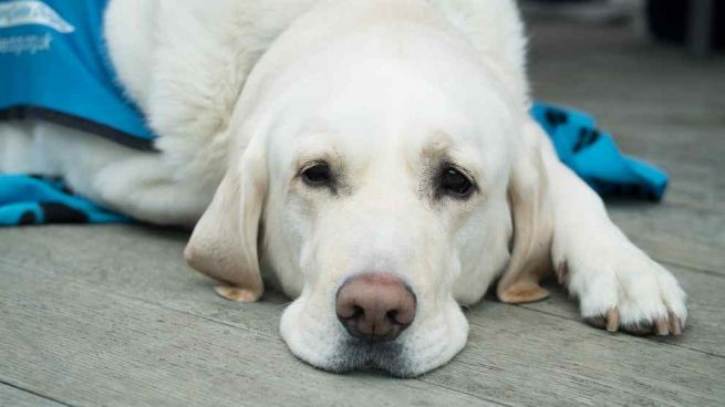 Diabetes en tu perro