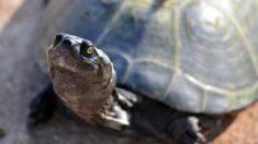 Curiosidades de la vida de la tortuga