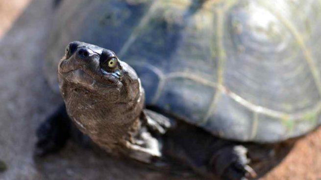 El ciclo de vida de la tortuga