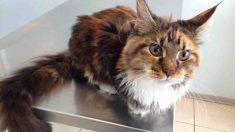 Tumores más extendidos en gatos