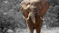 Curiosidades a saber del elefante