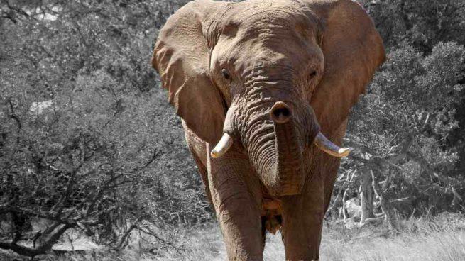 Datos curiosos del elefante