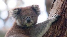 Facebook: Las dramáticas imágenes de un Koala quemado por el fuego