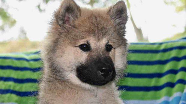 Razas de perros: el Eurasier