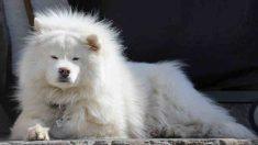 El Samoyedo, un perro sonriente