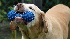 ¿Qué hay que saber sobre el juguete mordedor para tu perro?