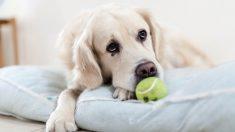 Tratamiento gusanos en el intestino del perro