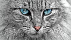 Tips para cuidar los ojos en el gato