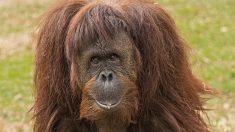 Cualidades del mono más inteligente