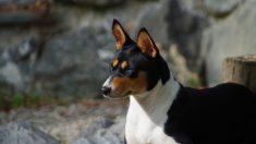 Curiosidades sobre el perro Basenji