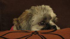 Enfermedades en perros: La toxoplasmosis