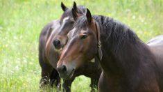 ¿Cómo es el caballo más bello?