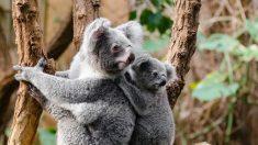 El koala, el animal que duerme más horas al día
