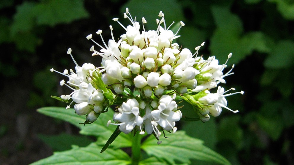 La valeriana es una de las plantas medicinales idóneas para calmar los nervios