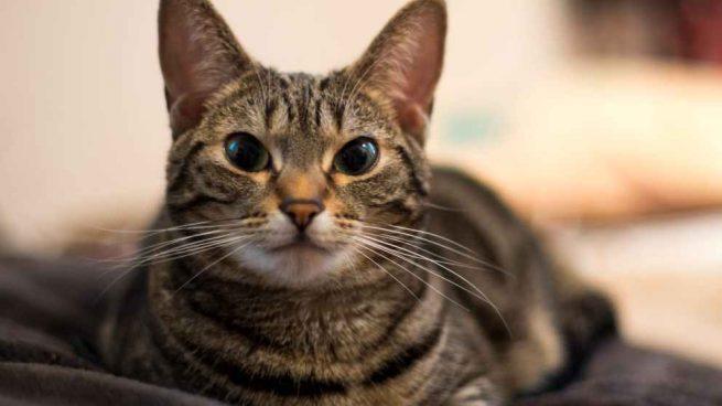 El gato Munchkin