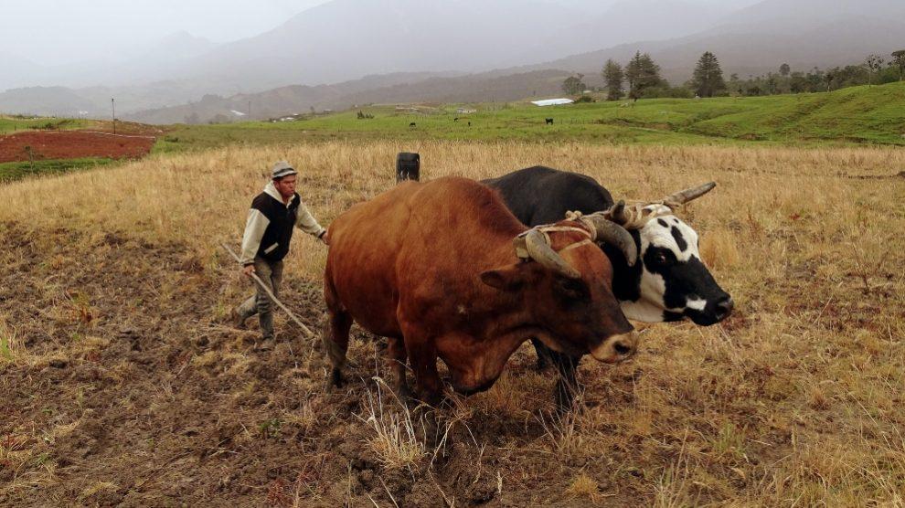 Animales tradicionales para carga