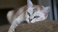 Razas felinas: el gato Burmilla