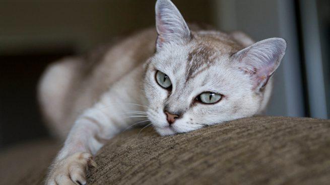 El gato Burmilla