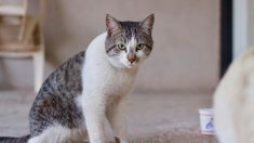 Tratamiento del virus de la leucemia felina