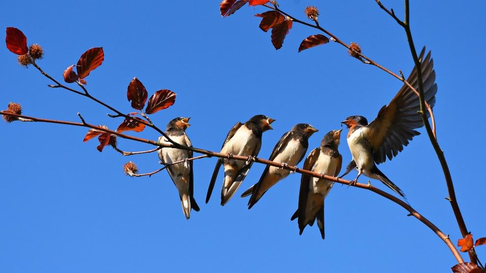 A qué lugar van las golondrinas en invierno