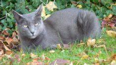 ¿Cómo es el gato korat?