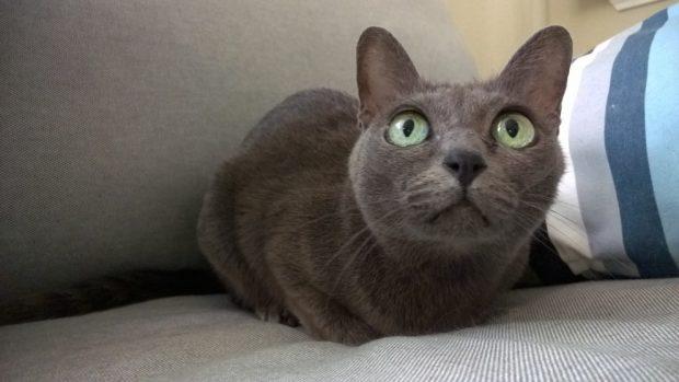 :l gato korat mirando