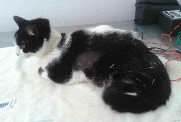 La acupuntura en gatos