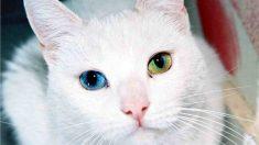 Gato con ojos de distinto color