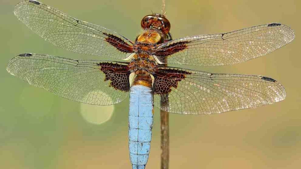 Lo que debes saber sobre la libélula