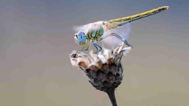 Cosas curiosas sobre la libélula