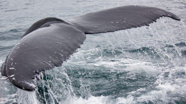 Alimentación en la ballena