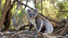El koala como especie en peligro de extinción