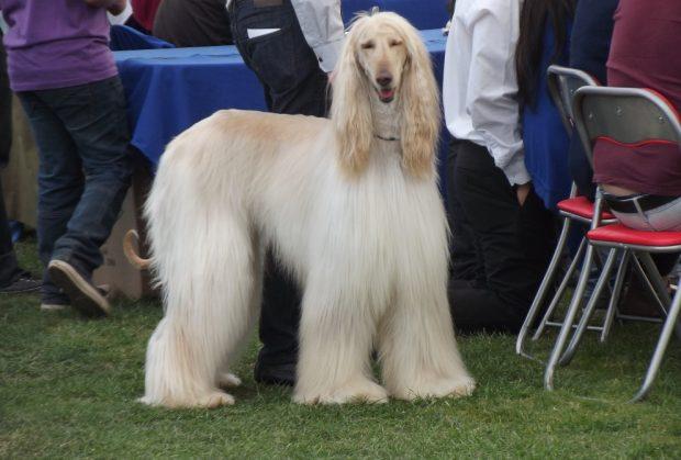 ¿Cómo es el tasi, perro afgano?