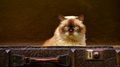 ¿Cómo saber que tu gato se está haciendo viejo?