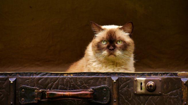 Síntomas de gato viejo